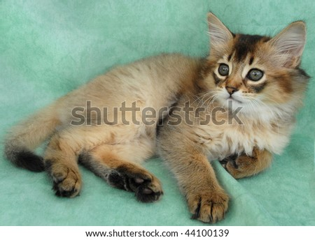 Usual somali kitten resting on a green background