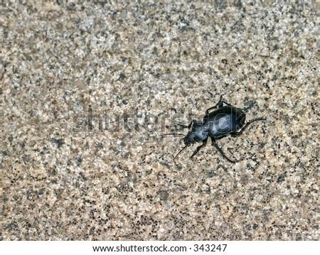 Utah Stinkbug Beetle - stock photo