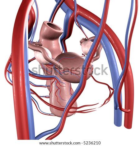 Uterus - stock photo