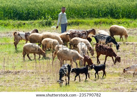 UTTAR PRADESH, INDIA- MAR 2: a local tends a herd of sheep and goats in a field on March 2, 2013, in Uttar Pradesh, India. Sheep and goats are raised for meat, dairy products and clothing in India. - stock photo