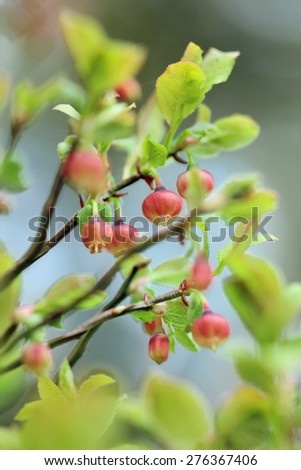 Vaccinium myrtillus - bilberry, blueberry - in bloom - stock photo