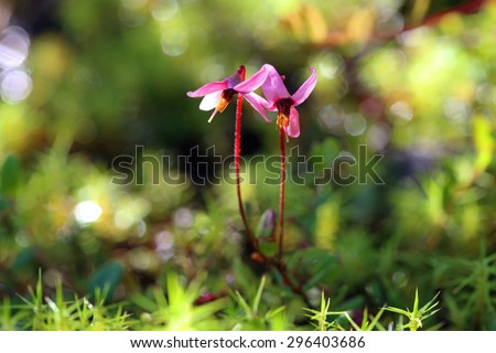 Vaccinium oxycoccos. Blossoming of a cranberry on a bog in Siberia - stock photo