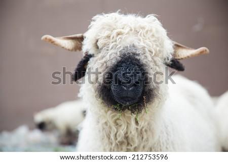 Valais Blacknose Sheep in Zermatt, Swiss - stock photo