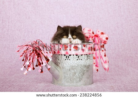 Valentine black and white Persian kitten hiding and peeping out from inside Valentine decorated watering can on pink lilac background  - stock photo