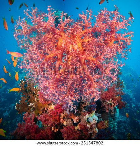 Valentine heart made of corals (Dendronephthya hemprichi) on blue water background - stock photo