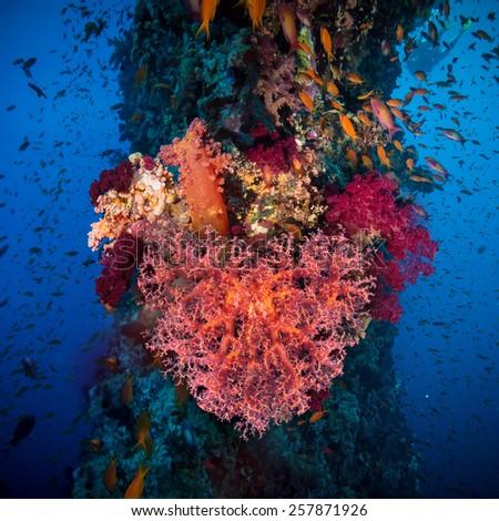 Valentine heart made of corals (Dendronephthya hemprichi) on blue water background - stock photo