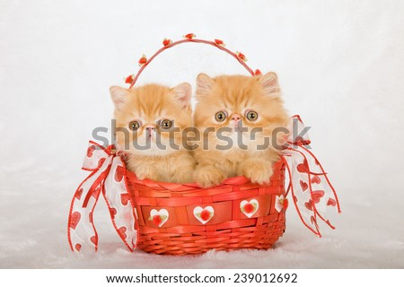 Valentine Persian and Exotic kittens sitting inside red Valentine basket on white fake faux fur background  - stock photo