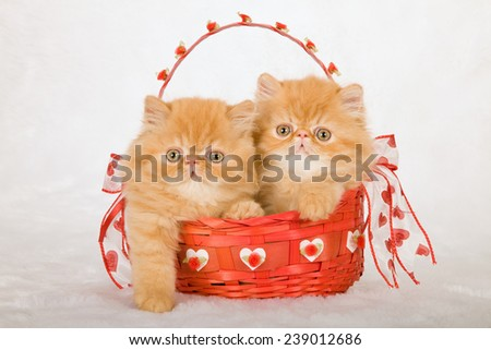 Valentine Persian kittens sitting inside red Valentine basket on white fake faux fur background  - stock photo