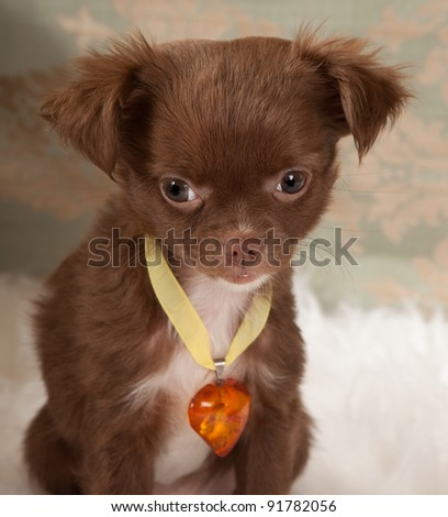Valentine picture of a chihuahua puppy dog with an amber heart collar - stock photo