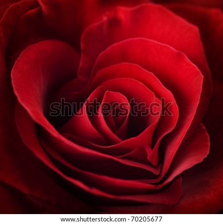 Valentine Red Rose.Heart shaped - stock photo