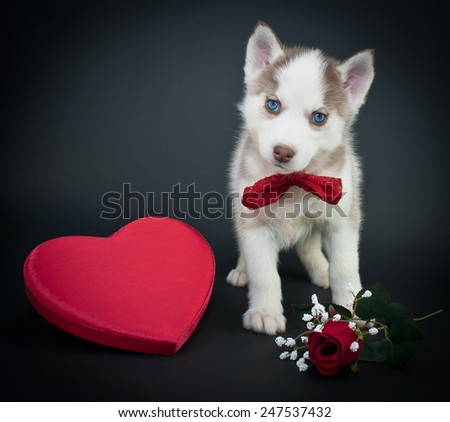 Valentine's day husky puppy with a big red heart and a single red rose on a black background. - stock photo