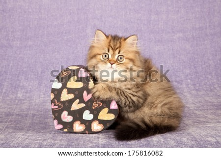 Valentine theme golden Persian Chinchilla kitten with heart shaped gift box on light purple lilac background - stock photo