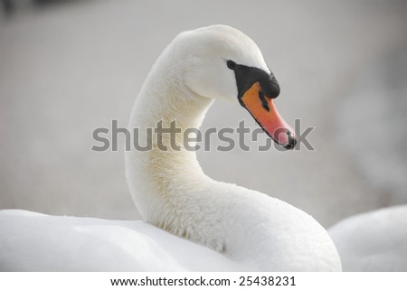valentine White swan - stock photo