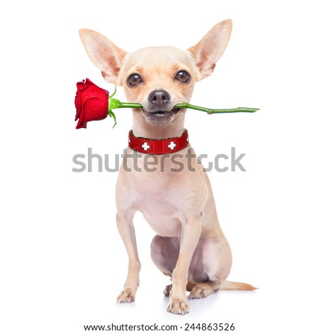 valentines chihuahua dog holding a rose with mouth , isolated on white background - stock photo