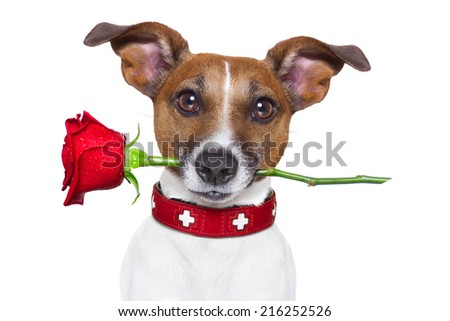 valentines dog with a red rose in mouth , isolated on white background