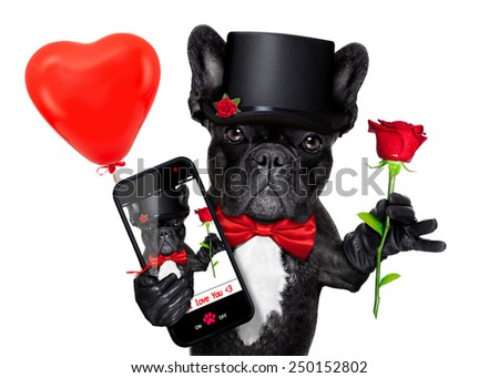 valentines french bulldog dog holding a red rose with one hand , taking a selfie with the other , isolated on white background - stock photo