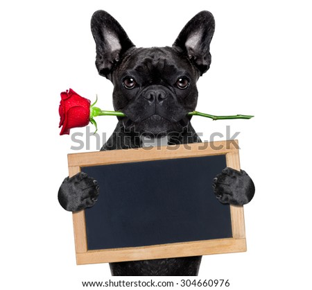 valentines  french bulldog dog in love holding a rose with mouth and a blank empty blackboard or placard, isolated on white background - stock photo