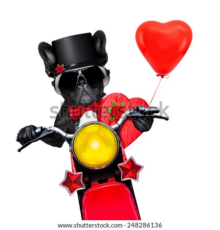 valentines french bulldog dog , riding a motorbike, holding a present or gift and a red balloon  , isolated on white background - stock photo
