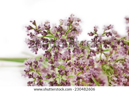 Valerian herb flower sprigs isolated on white background  - stock photo