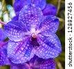 Vanda coerulea orchids , Genus is Vanda - stock photo