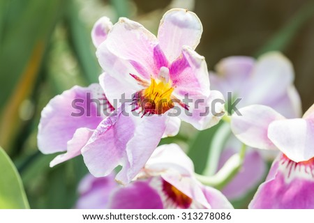 Vanda Miss Joaquim orchid , national flower of Singapore, close up - stock photo