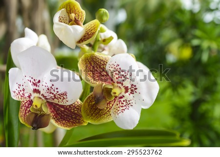 Vanda Sanderiana or Waling-Waling, considered to be the queen of Philippine flowers. - stock photo