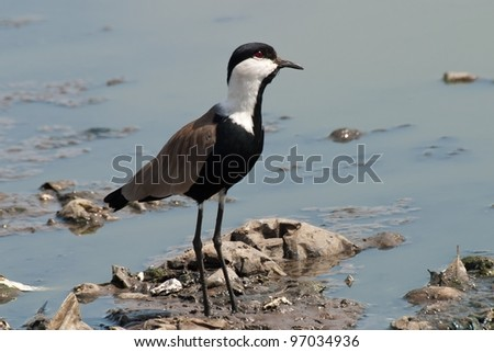 Vanellus spinosus Spur-Winged Lapwing - stock photo