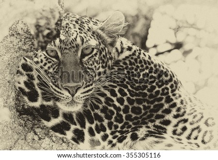 Vanishing Africa: vintage style image of a wild leopard in the Masai Mara National Park, Kenya, Africa - stock photo