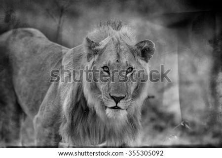 Vanishing Africa: vintage style image of an African Lion in the Maasai Mara National Park, Kenya - stock photo