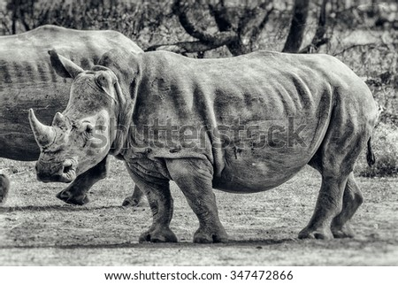 Vanishing Africa: vintage style image of y White Rhinoceros in Hlane National Park, Swaziland