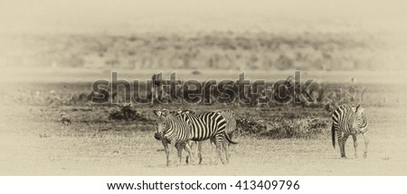 Vanishing Africa: vintage style image of Zebras in the Lake Manyara National Park, Tanzania - stock photo