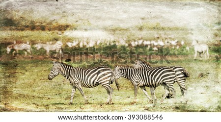 Vanishing Africa: vintage style image of Zebras in the Lake Manyara National Park, Tanzania, East-Africa - stock photo