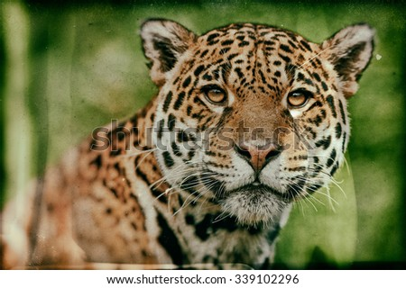 Vanishing Amazonian wildlife: vintage style image of a Jaguar - Panthera onca. The jaguar is the third-largest feline after the tiger and the lion, and the largest in the Western Hemisphere. - stock photo