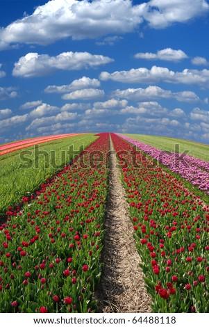 Vanishing row of tulip field under cloudy sky not far from Keukenhof Netherlands - stock photo