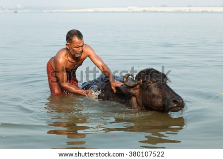 VARANASI, INDIA - DECEMBER 1: Unidentified Hindu washes a sacred cow in Ganga river on December 1, 2012 in Varanasi, India. Ganges River, Hindi Ganga, great river of the plains of the northern India. - stock photo