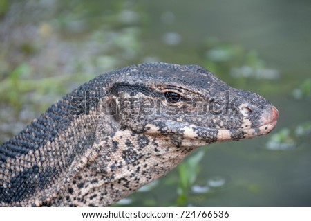 Varanus salvator looking and waiting its prey .it is  native predator in the pond and river in Thailand