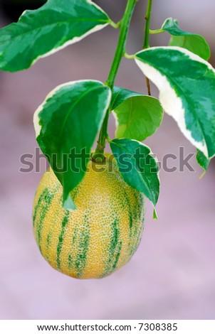 Variegated Lemon tree with fruit - stock photo