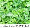 Variegated milk thistle - stock photo
