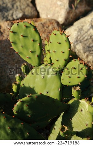 Variety of cactus, landscaping of cacti and succulents, Crimea, Russia - stock photo