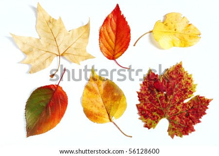 Variety of different fall color leaves photographed on white background - stock photo