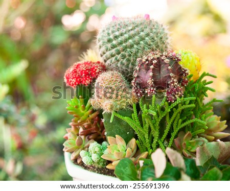 Various Cactus plants  in a pot close-up - stock photo