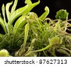 various carnivorous plants in black back - stock photo