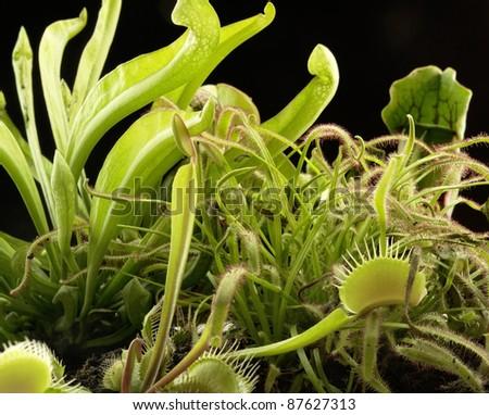 various carnivorous plants in black back - stock photo