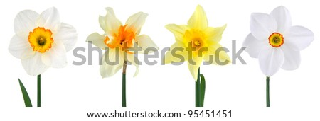 Various head narcissus on white background - stock photo
