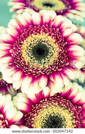 various pink gerber flowers image - stock photo