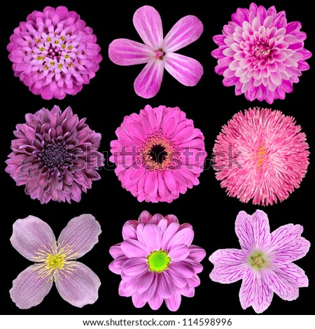 Various Pink, Purple, Red Flowers Isolated on Black Background. Selection of Nine Periwinkle, Rose, CornFlower, Lily, Daisy, Chrysanthemum, Dahlia, Carnation, Primrose Flowers - stock photo