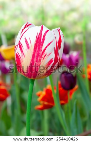 various tulips in a garden - stock photo