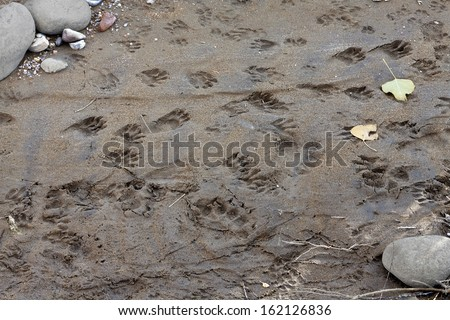 Various wild animal tracks in soft sand including Black Bear, Raccoon, Ground Squirrel and Coyote. - stock photo