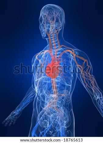vascular system - stock photo