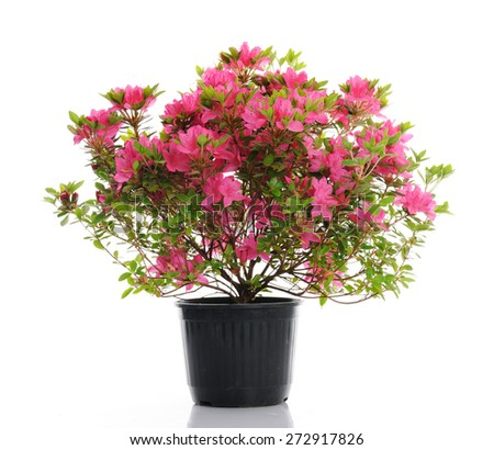 vase with blossom azalea - stock photo